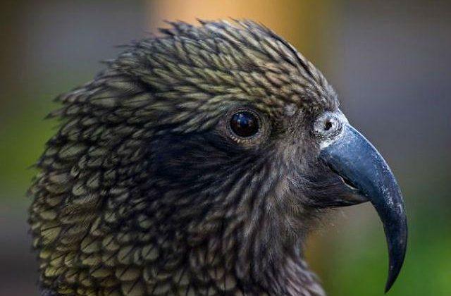 Попугай кеа - голова и клюв