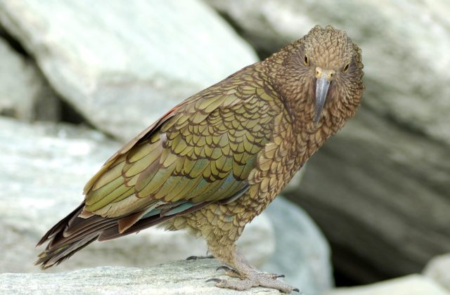 Попугай кеа - хищная птица