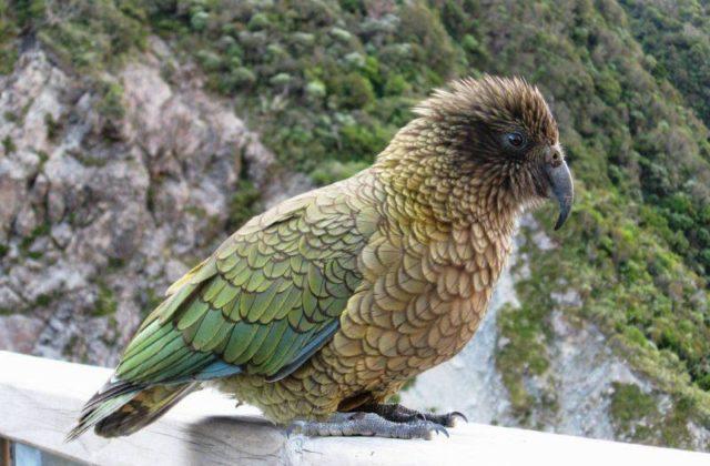 Попугай кеа - красивая птица