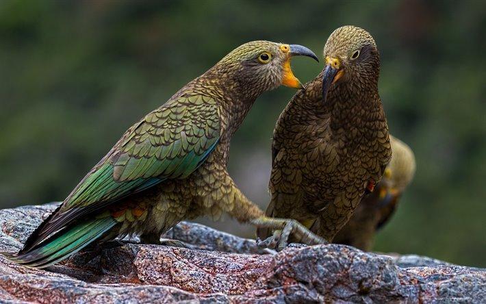 Попугай кеа - среда обитания