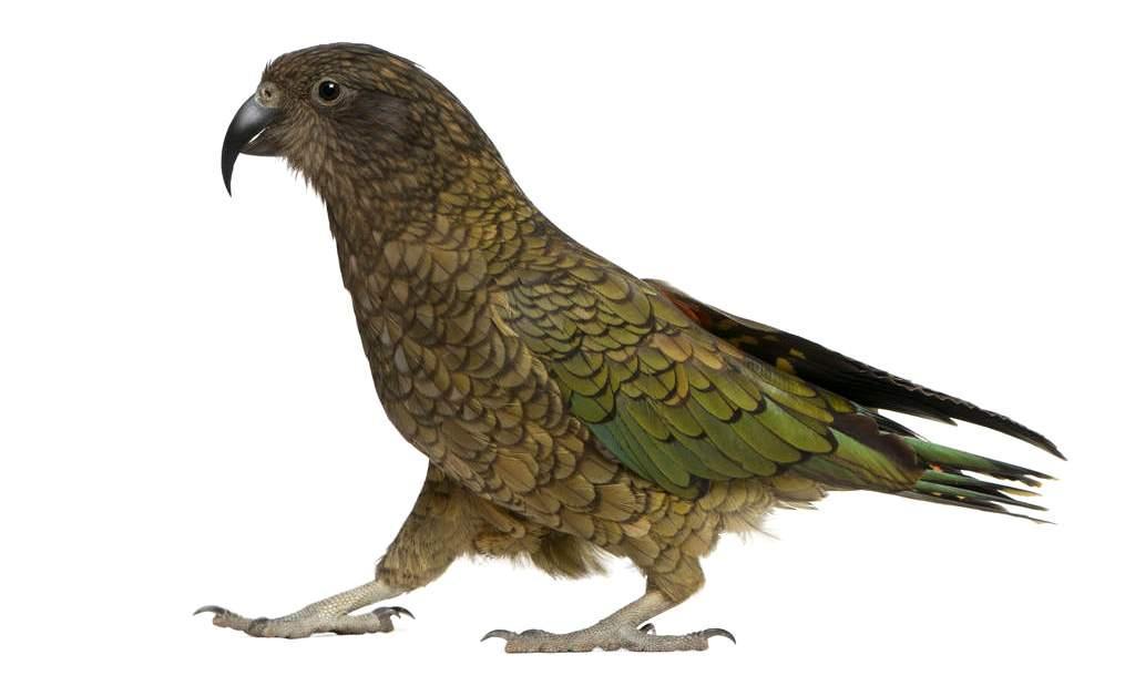 Попугай кеа - главное фото
