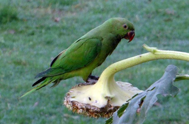 Попугай ожереловый (1)