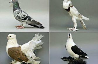 Разведение голубей - главное фото