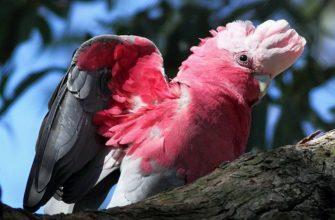 Розовый какаду - главное фото