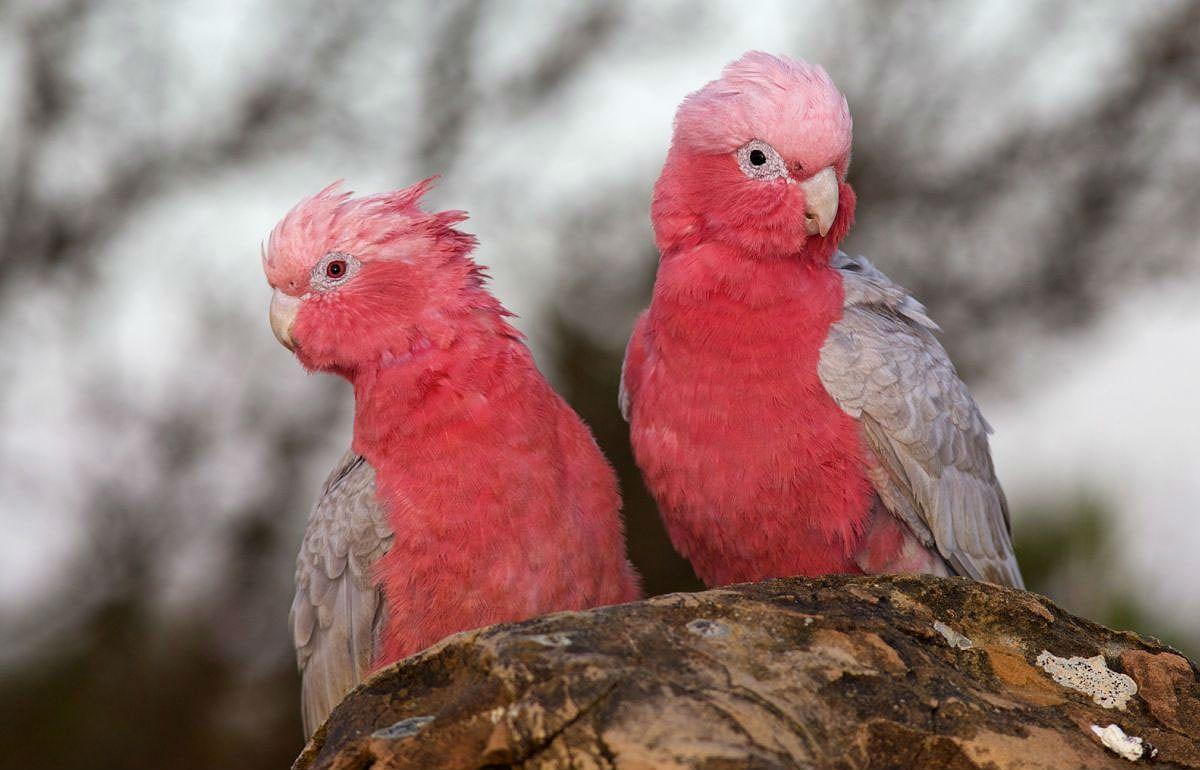 Розовый какаду - среда обитания и образ жизни