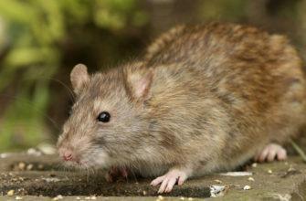 Породы диких крыс - главное фото