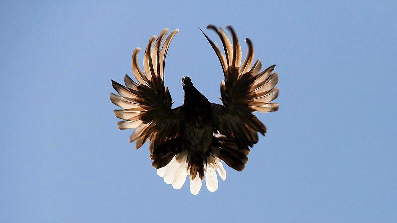 Серпастые голуби - главное фото