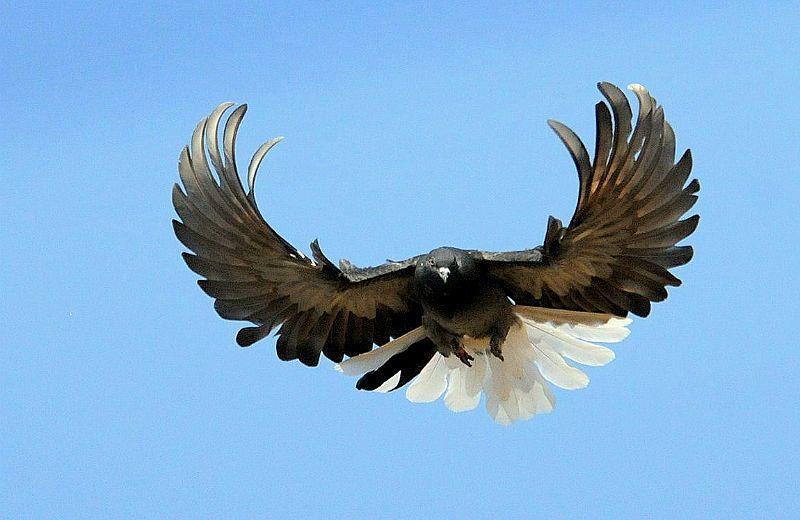 Серпастые голуби - особенности полета
