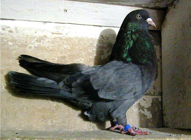 Содержание серпастых голубей