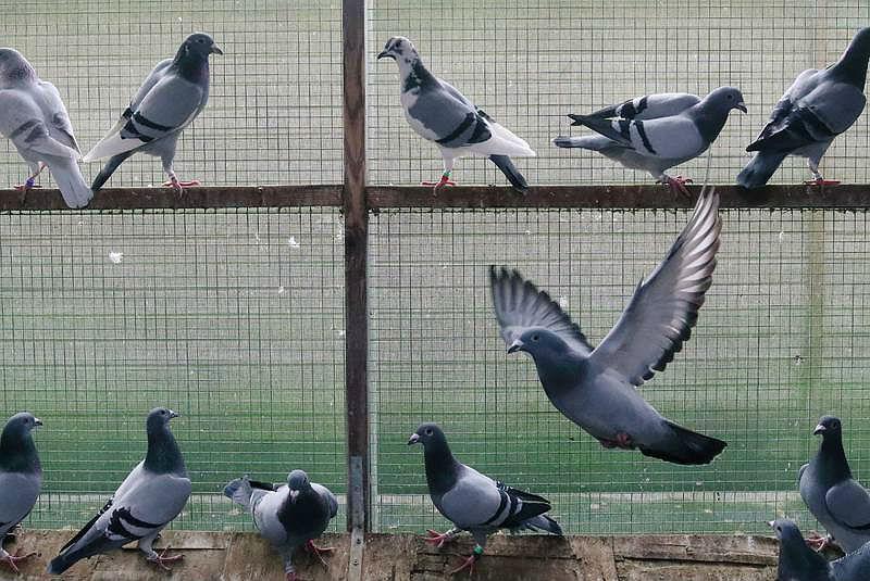 Спортивные голуби (10)