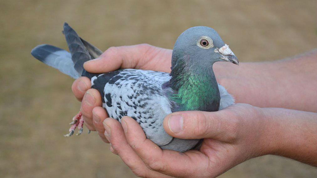 Как определить самца голубя и самку?