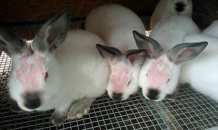 У кролика лишай - пути заражения