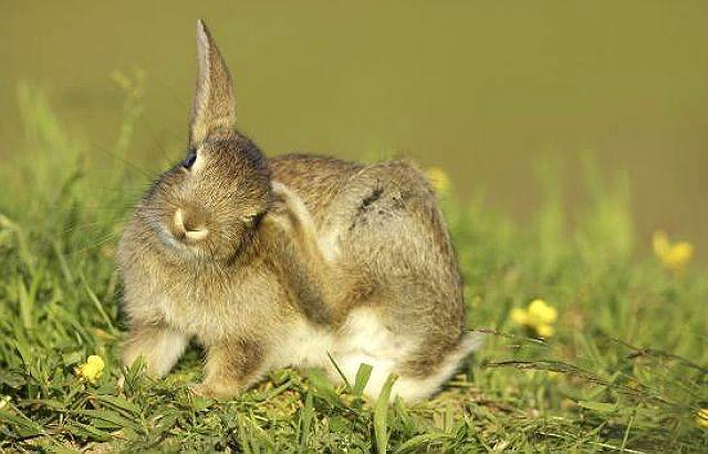 У кролика чешутся уши