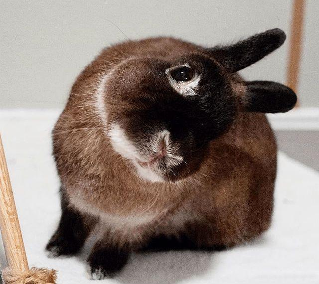 Ушная чесотка у кролика