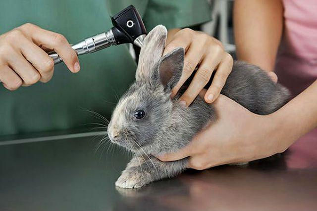 Ушной клещ у кроликов - диагностика