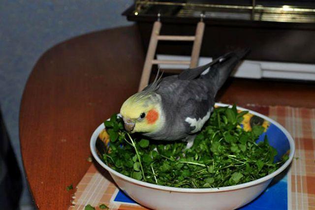 Травяная ванночка для кореллы