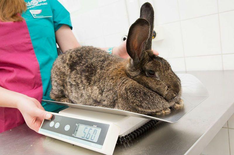 Вес кроликов мясной породы