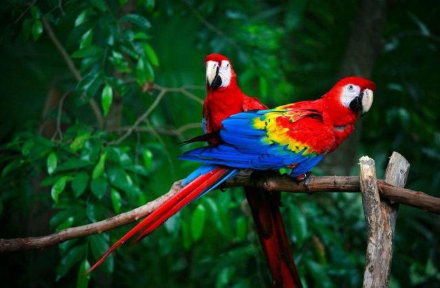 Ара попугай - фото