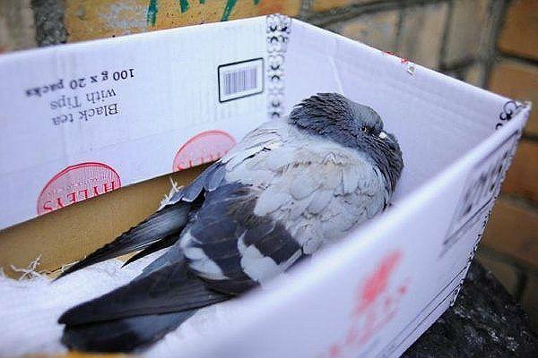 Аспергиллез у голубя