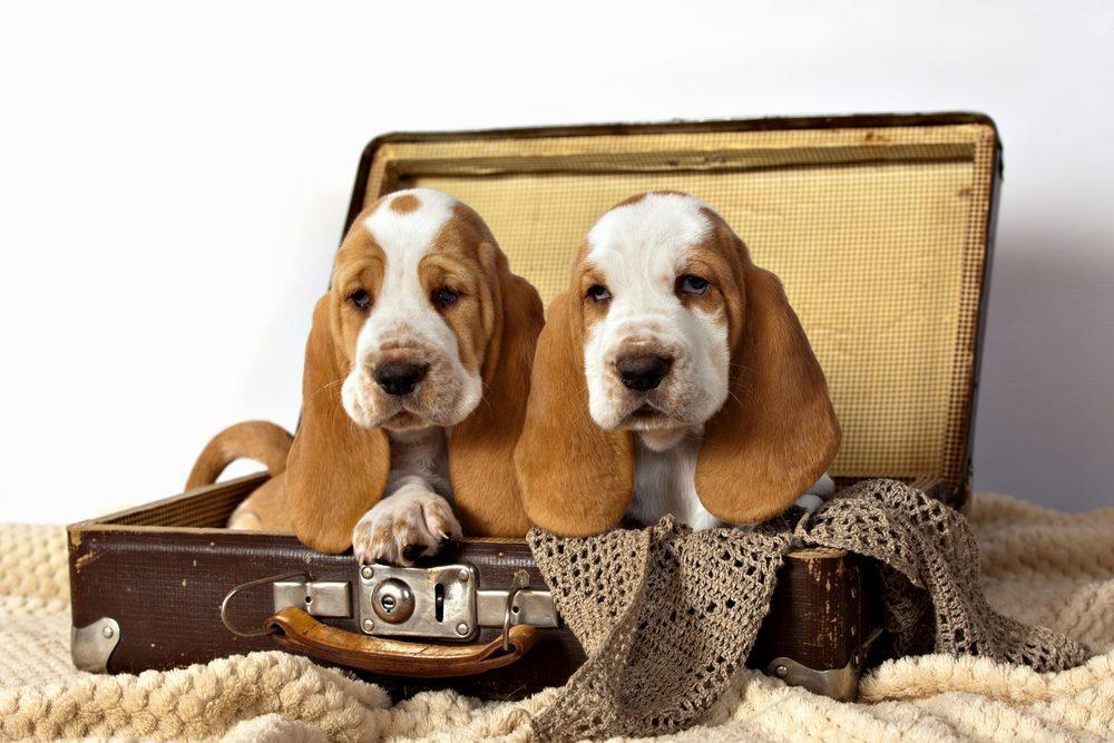 Бассет-хаунд - щенки