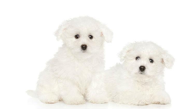 Бишон фризе - выбор щенка