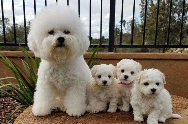 Бишон фризе с щенками