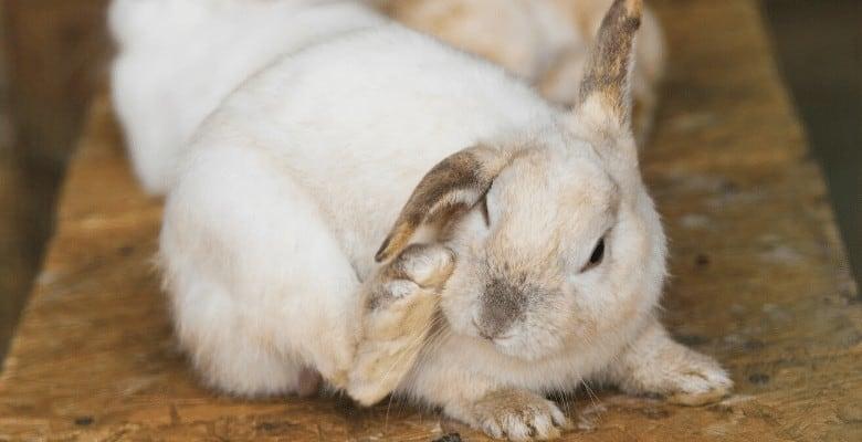 Блохи у декоративного кролика