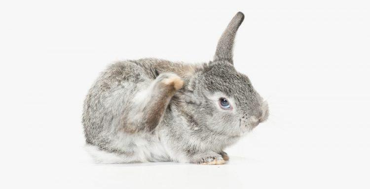 Опасность блох для кролика
