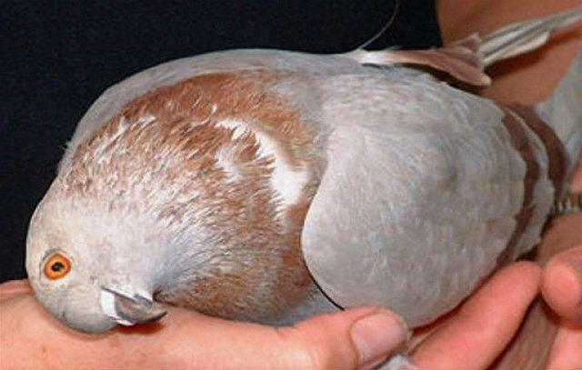 Болезнь Ньюкасла у голубя