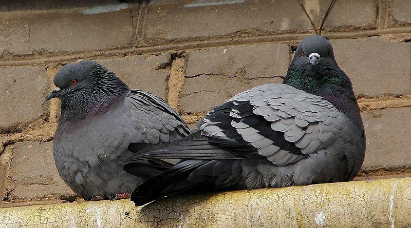 Незаразные болезни голубей