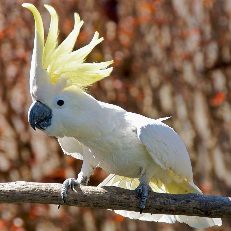 Большой желтохохлый какаду - среда обитания
