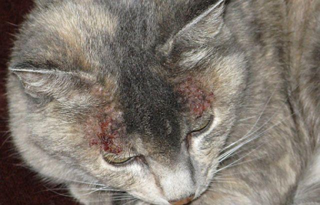 Болячки у кота на голове - инфекции