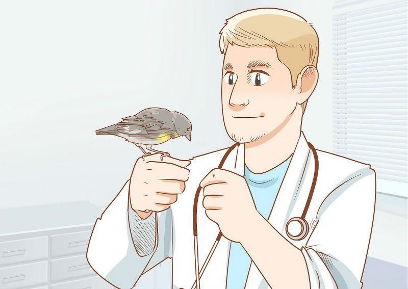 Чем болеют канарейки - помощь ветеринара