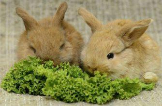 Чем кормить декоративных кроликов