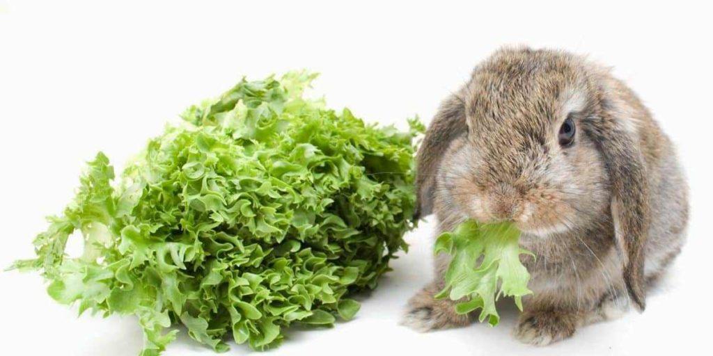 Декоративный кролик грызет зелень