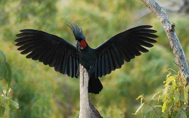 Черный какаду - характер и поведение