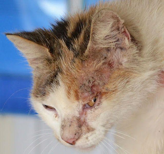 Болячки на голове у кота - дерматоз