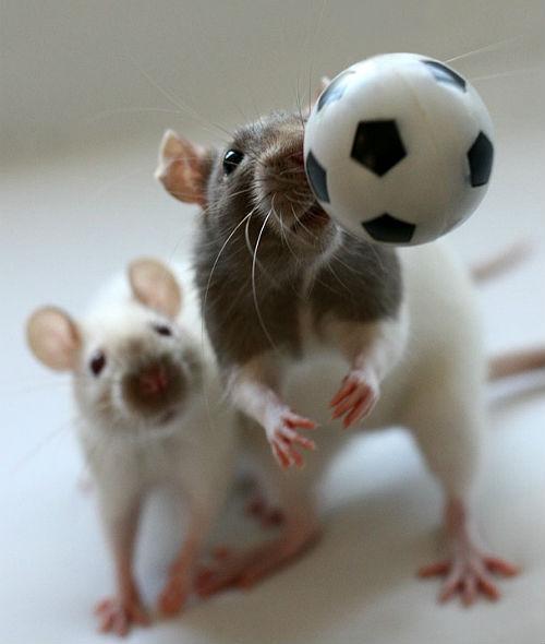 Дрессированные крысы