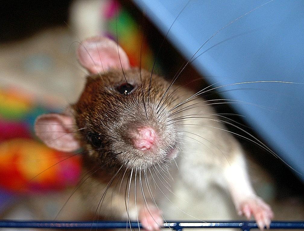 Дрессировка крысы - правила