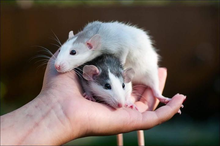 Как дрессировать крыс