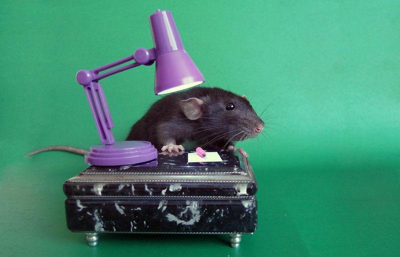 Дрессировка крысы в домашних условиях