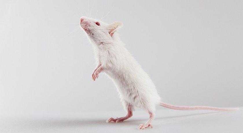 Дрессировка крысы - команды