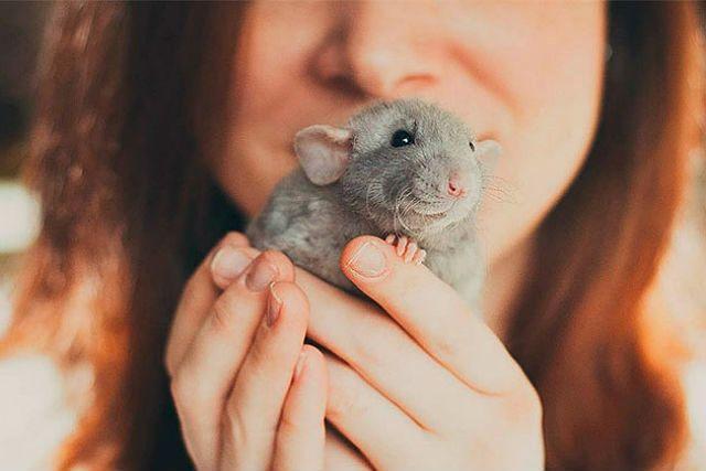 Дрессировка декоративной крысы