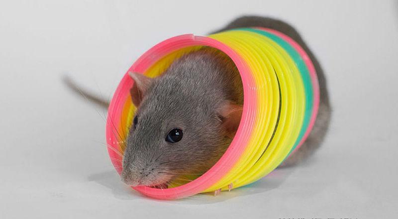 Дрессировка крысы - главное фото