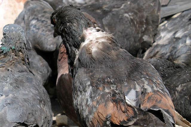 Эктопаразитоз у голубей