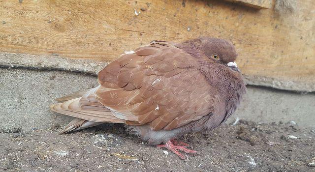 Капиляриидоз у голубя