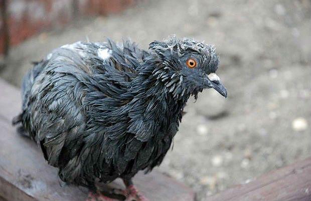 Гемофилез у голубя