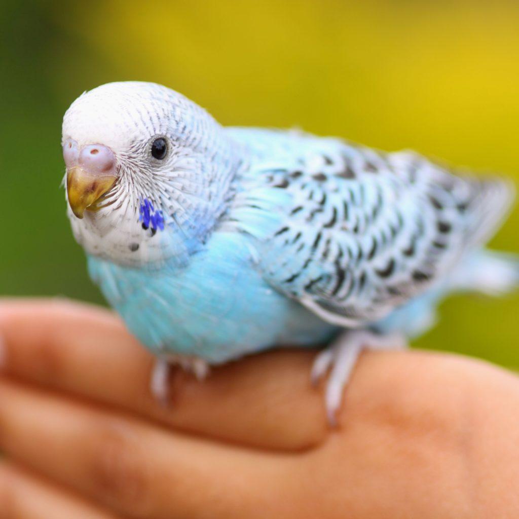 Интересные факты о попугаях - повадки и поведение