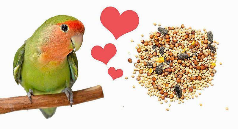 Как научить попугая неразлучника разговаривать - угощение