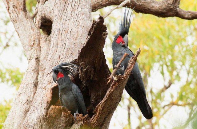 Черные какаду на дереве